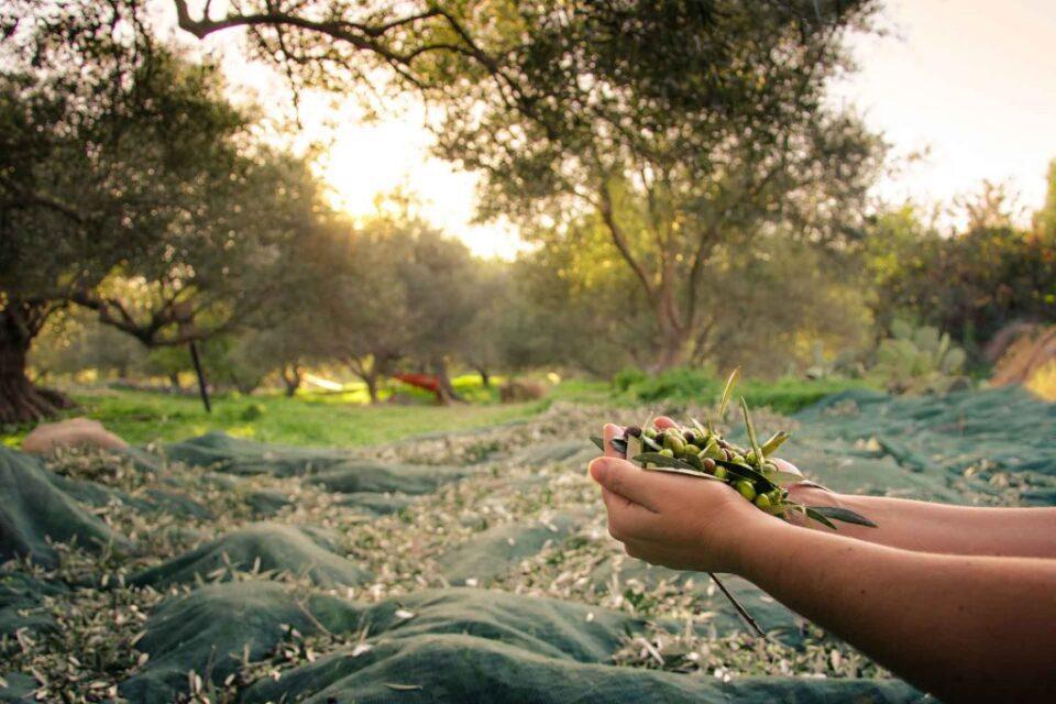 Harvest-olives-1024x683-2